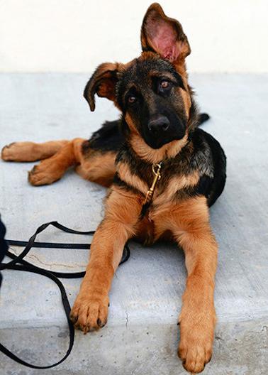 Oliver puppy 2